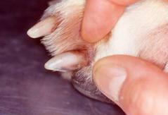 Kvasinková infekce u psa